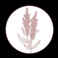 Illustration of a quinoa plant